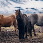 Три красивих чорних, сірих і коричневих коней стояли на пасовищі — стокове фото