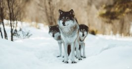 Drei schöne graue pelzige Hunde im Winterwald — Stockfoto