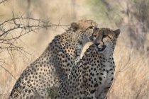 Zwei majestätische Leoparden sitzen und brüllen in der Tierwelt — Stockfoto