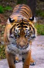 Close-up view of majestic bengal tiger looking at camera — Stock Photo