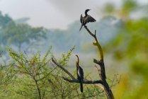Zwei schöne Kormoranvögel, die auf Ästen thronen, selektiver Fokus — Stockfoto