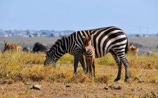 Beaux zèbres broutant sur la prairie herbeuse dans la savane — Photo de stock