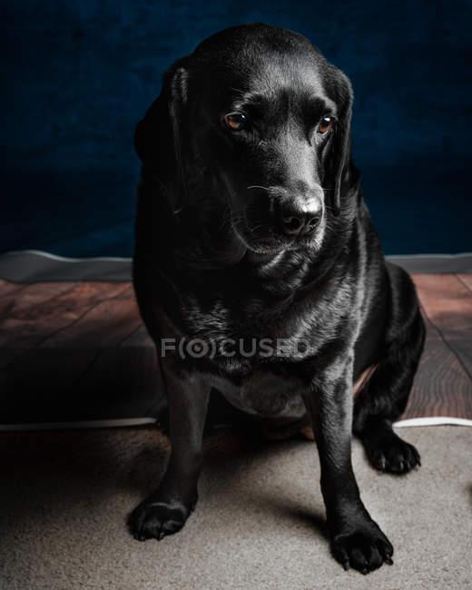 Cute adult black Labrador retriever sitting on floor — Stockfoto