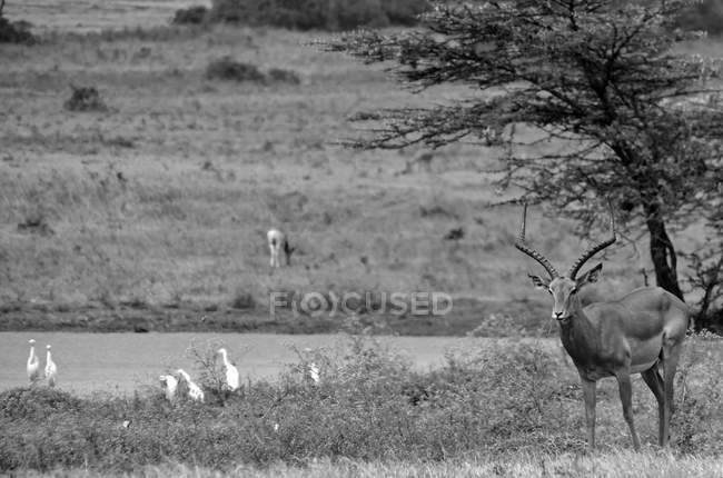 Black and white image of beautiful antelopes and birds in wildlife — Foto stock
