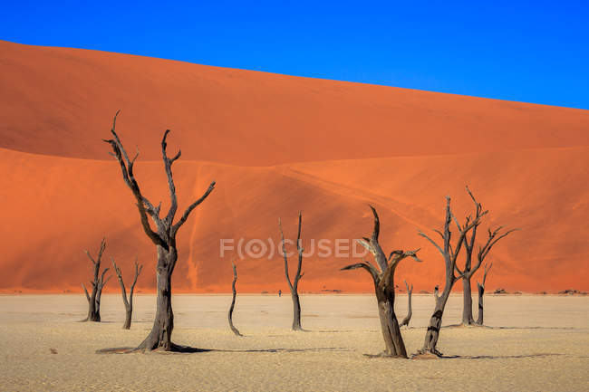 Amazing natural view with barren trees and sand dunes under blue sky — Foto stock