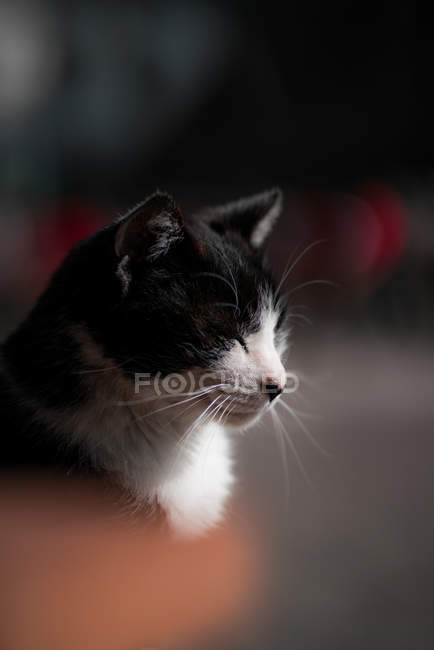 Close-up view of adorable black and white short fur cat, selective focus — Stockfoto