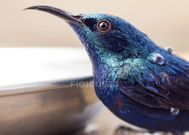 Close-up photography of beautiful blue hummingbird with water drops, side view — Stock Photo