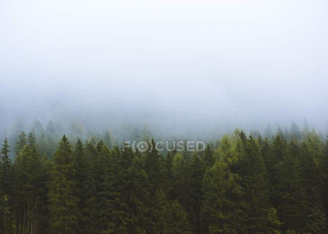 Erstaunlicher Blick auf Wolken über immergrünen Bäumen im Wald am nnebeligen Tag — Stockfoto