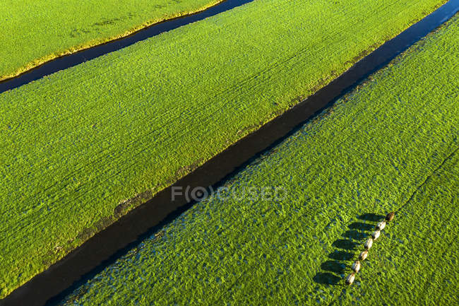 Aerial view of cows grazing on green grassland at sunny day — Fotografia de Stock