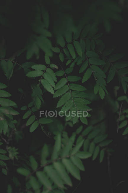 Close-up view of fresh green leaves in darkness, selective focus — Stockfoto
