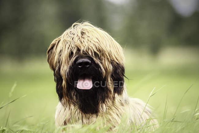 Крупным планом зрения очаровательны коричневый пушистый собака с языком, стоя на траве — стоковое фото