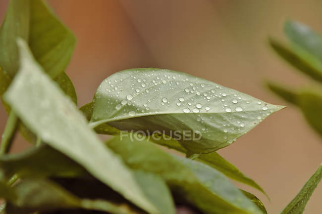 Close-up view of water drops on fresh green leaves, selective focus — Stockfoto