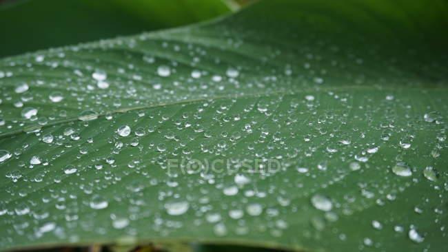 Vue de plan rapproché de la feuille verte humide avec des gouttes d'eau, foyer sélectif — Photo de stock