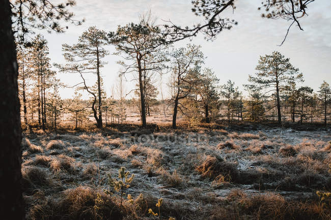 Trees and dry grass covered with snow at winter morning — Foto stock