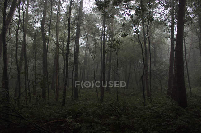 Dark forest with trees and green grass in fog — Stockfoto