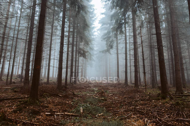 Tall trees in dark forest at foggy day — Foto stock