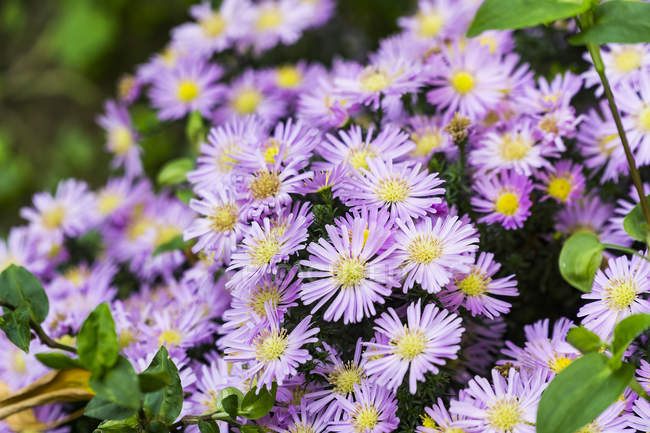Close-up view of beautiful blooming purple petaled flowers with green leaves — Foto stock