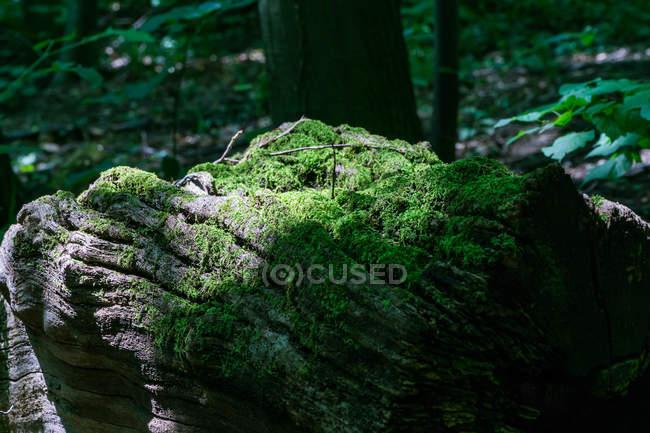 Primo piano vista di muschio verde sulla roccia nella foresta — Foto stock