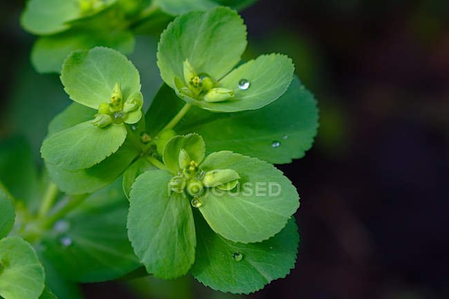 Close-up view of green buds and leaves with water drops — Photo de stock