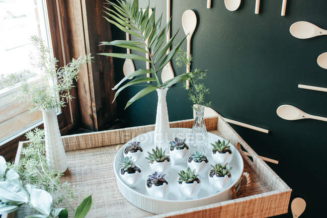 High angle view of beautiful green succulents plants in pots on tray — Stock Photo