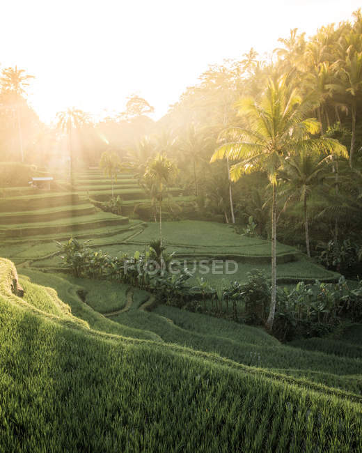 Beautiful landscape with palm trees and green plants on hills at sunrise — Fotografia de Stock