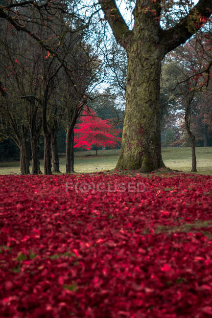 Ground covered with red leaves in autumn park — Stock Photo