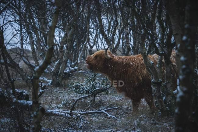 Vue latérale du yak poilu brun attrapant la neige sur la langue dans la forêt — Photo de stock