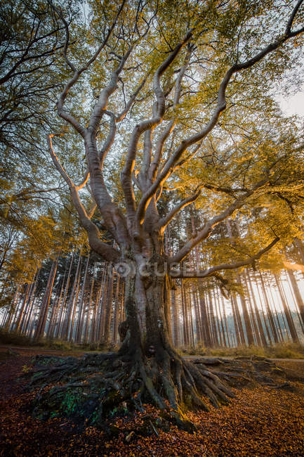 Low angle view of long branches on trees in autumn forest — Photo de stock