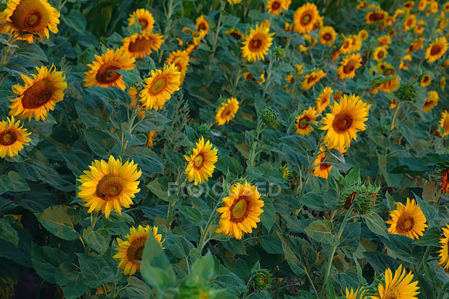 High angle view of beautiful yellow sunflowers blooming in field — Foto stock