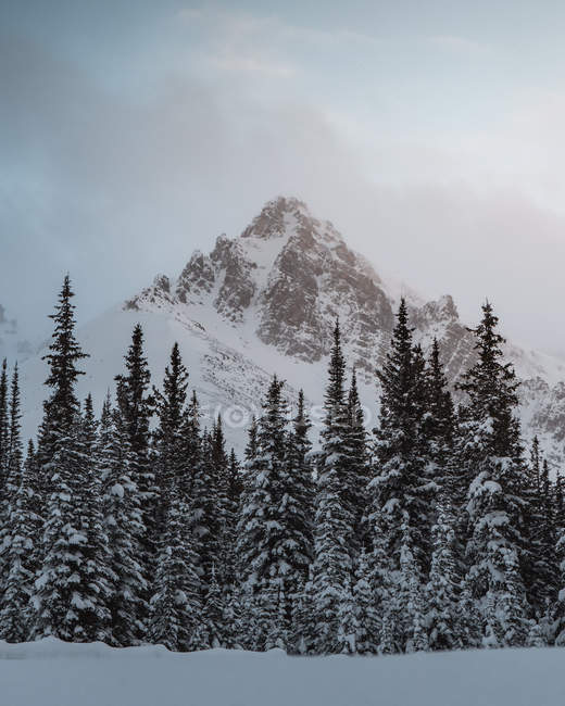 Low angle view of evergreen trees and beautiful mountains covered by snow - foto de stock