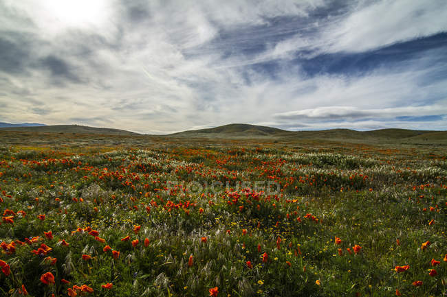 Beautiful red poppy flowers blooming on green meadow — Stock Photo