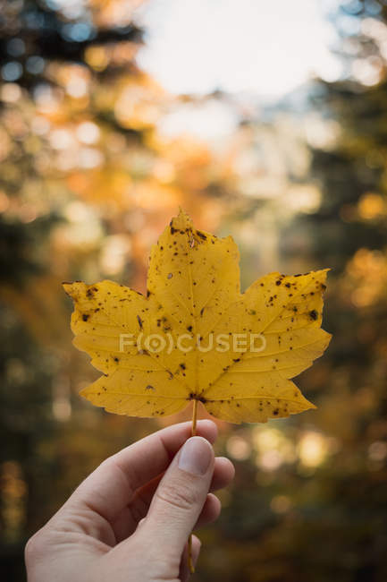 Cropped shot of person holding yellow maple leaf — Stockfoto