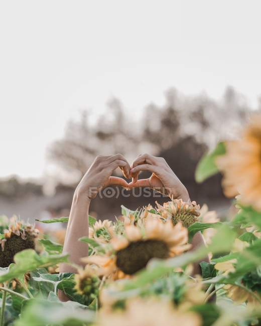 Cropped shot of person showing hand heart gesture surrounded by sunflowers — Stockfoto