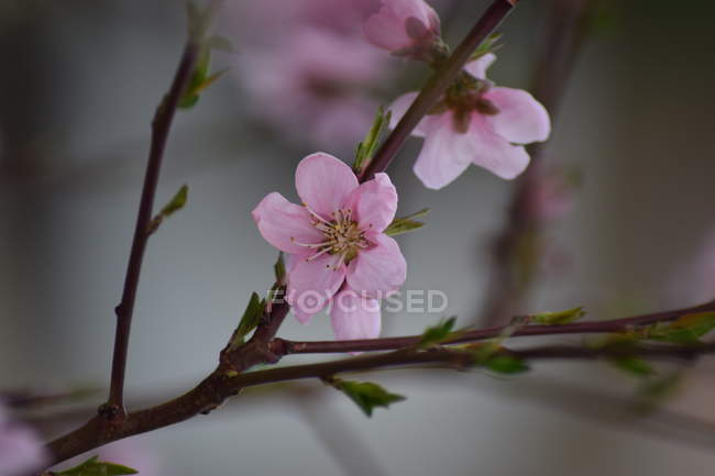 Close-up view of pink flowers on tree branch, selective focus — Stockfoto