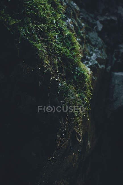Close-up view of green wet moss growing over rocky edge — Fotografia de Stock