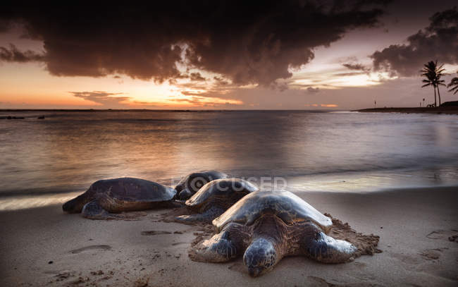 Sea turtles crawling on sandy beach at scenic sunset — стоковое фото