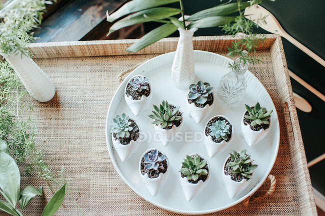 Top view of beautiful green succulents plants in pots on tray — Stock Photo