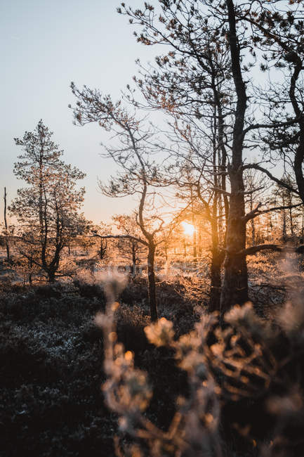 Amazing sunset through trees in winter forest, selective focus — Fotografia de Stock