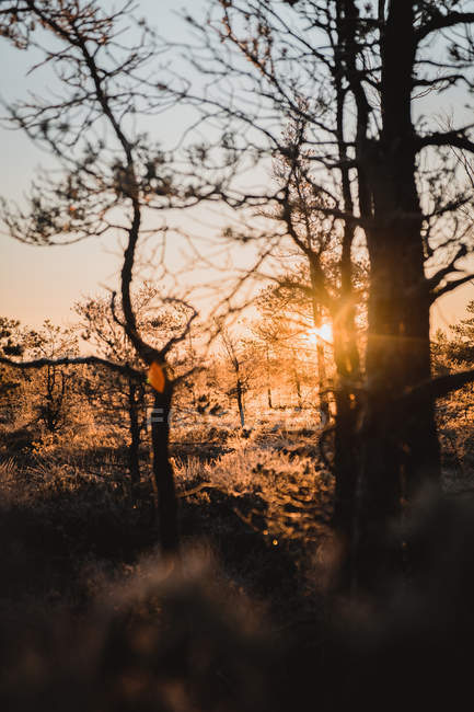 Sun shining through brown trees in winter forest at sunrise — Stock Photo