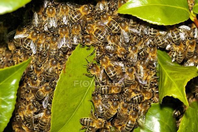 Enjambre de abejas de miel en hojas verdes, vista de cerca - foto de stock