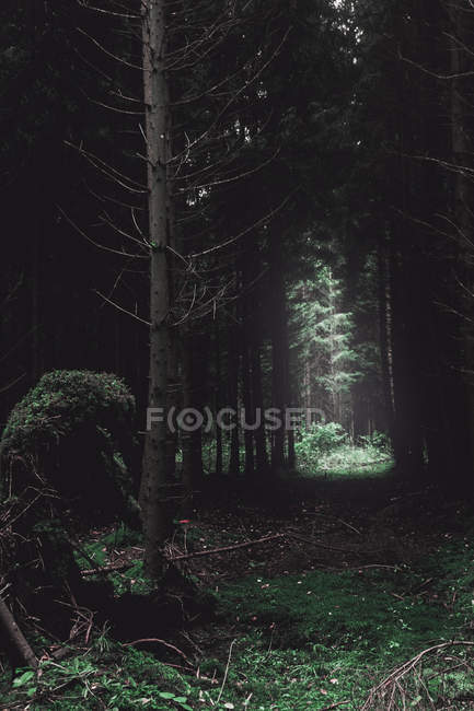 Tall trees and green vegetation in dark forest — Stockfoto