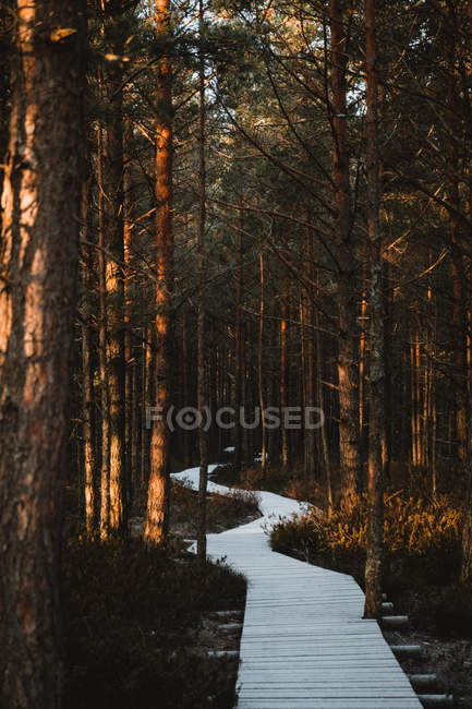 Wooden pathway and tall brown trees in autumn forest — Stock Photo