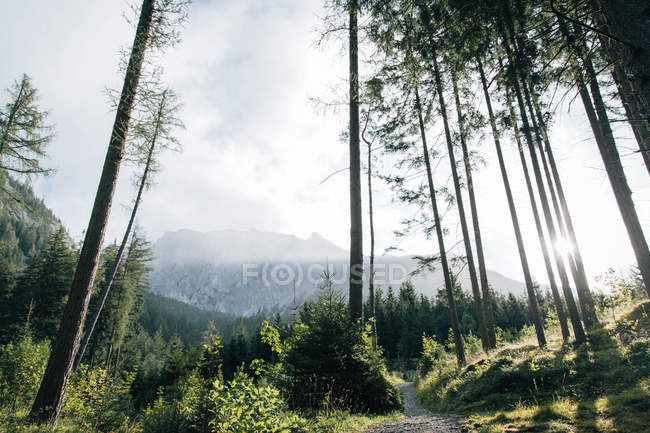 Low angle view of tall trees in forest and scenic mountains — Foto stock