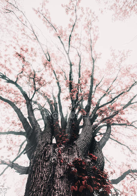 Low angle view of large tree with tender pink flowers in springtime — Photo de stock