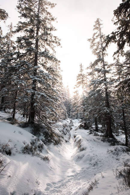 Beautiful snow-covered trees in winter forest after snowfall — Foto stock