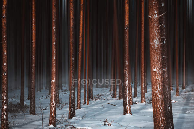 Beautiful tall brown trees in dark winter forest — Stockfoto