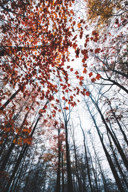 Low angle view of beautiful trees with red leaves in autumn forest — Photo de stock