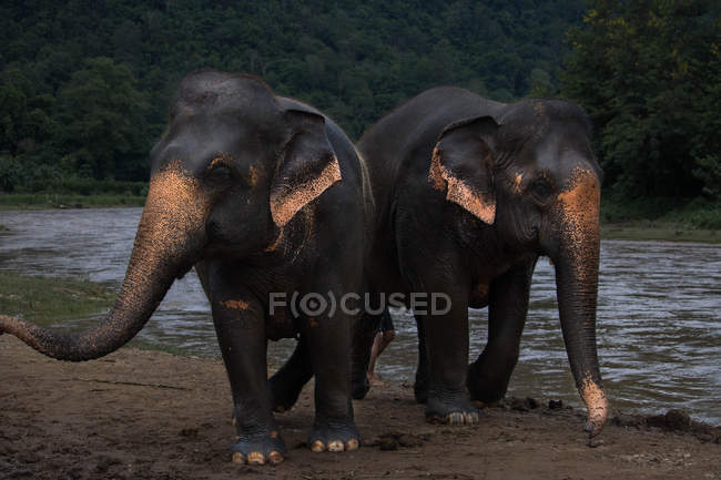 Two majestic grey elephants walking near waterhole in wildlife - foto de stock