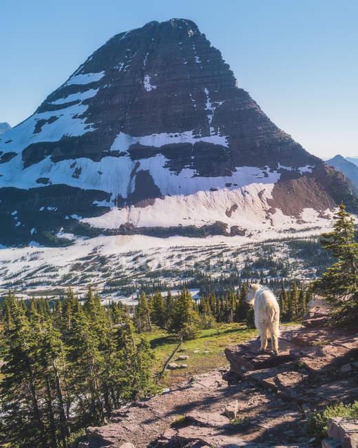 Weiße Ziege mit Blick auf schöne Landschaft mit schneebedeckten Bergen und Tälern — Stockfoto