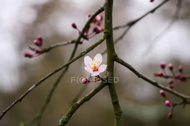 Крупним планом білий цвіт і червоні бутони на гілки дерев — стокове фото